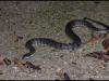 Dog-faced Water Snake (Cerberus rynchops)